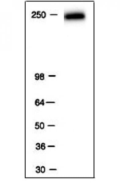 RNA pol II Antibody in Western Blot (WB)