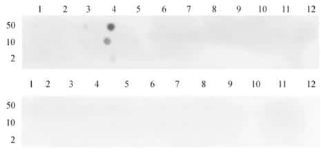 Histone H3K4me3 Antibody in Dot blot (DB)