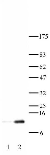 Histone H4K12ac Antibody in Western Blot (WB)