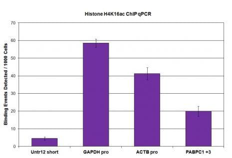 Histone H4K16ac Antibody in ChIP assay (ChIP)