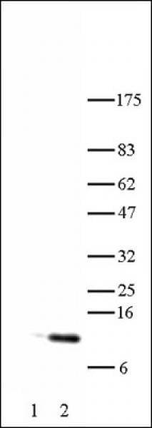 Histone H4K5ac Antibody in Western Blot (WB)
