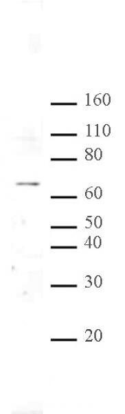 MeCP2 Antibody in Western Blot (WB)