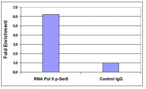 Phospho-RNA pol II CTD (Ser5) Antibody in ChIP assay (ChIP)