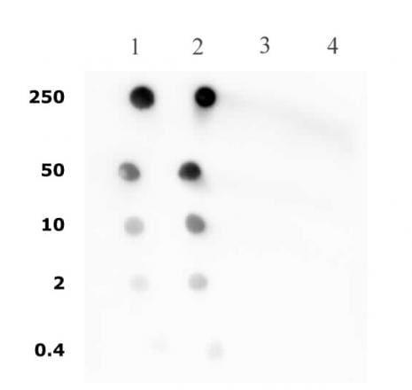 Histone H4ac (pan-acetyl) Antibody in Dot blot (DB)