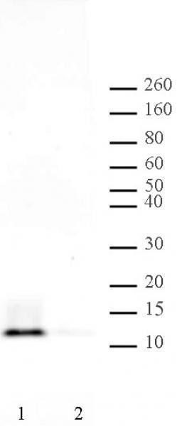Histone H4ac (pan-acetyl) Antibody in Western Blot (WB)