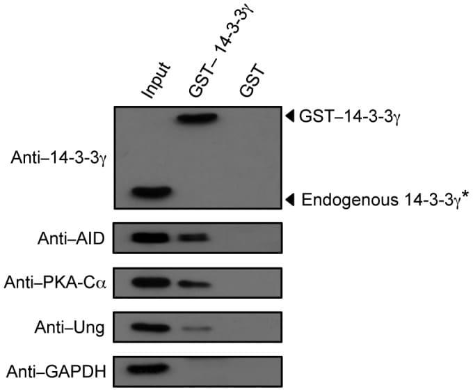 AID Antibody