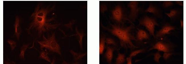 CDKN2C Antibody in Immunofluorescence (IF)
