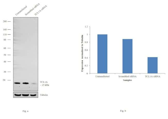 TCL1A Antibody in KnockDown
