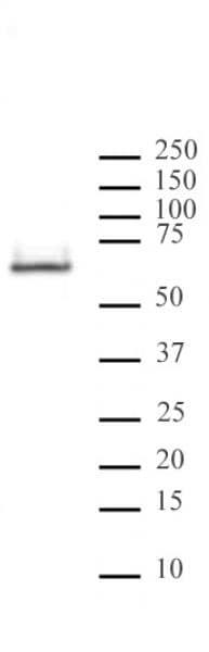 HDAC2 Antibody in Western Blot (WB)