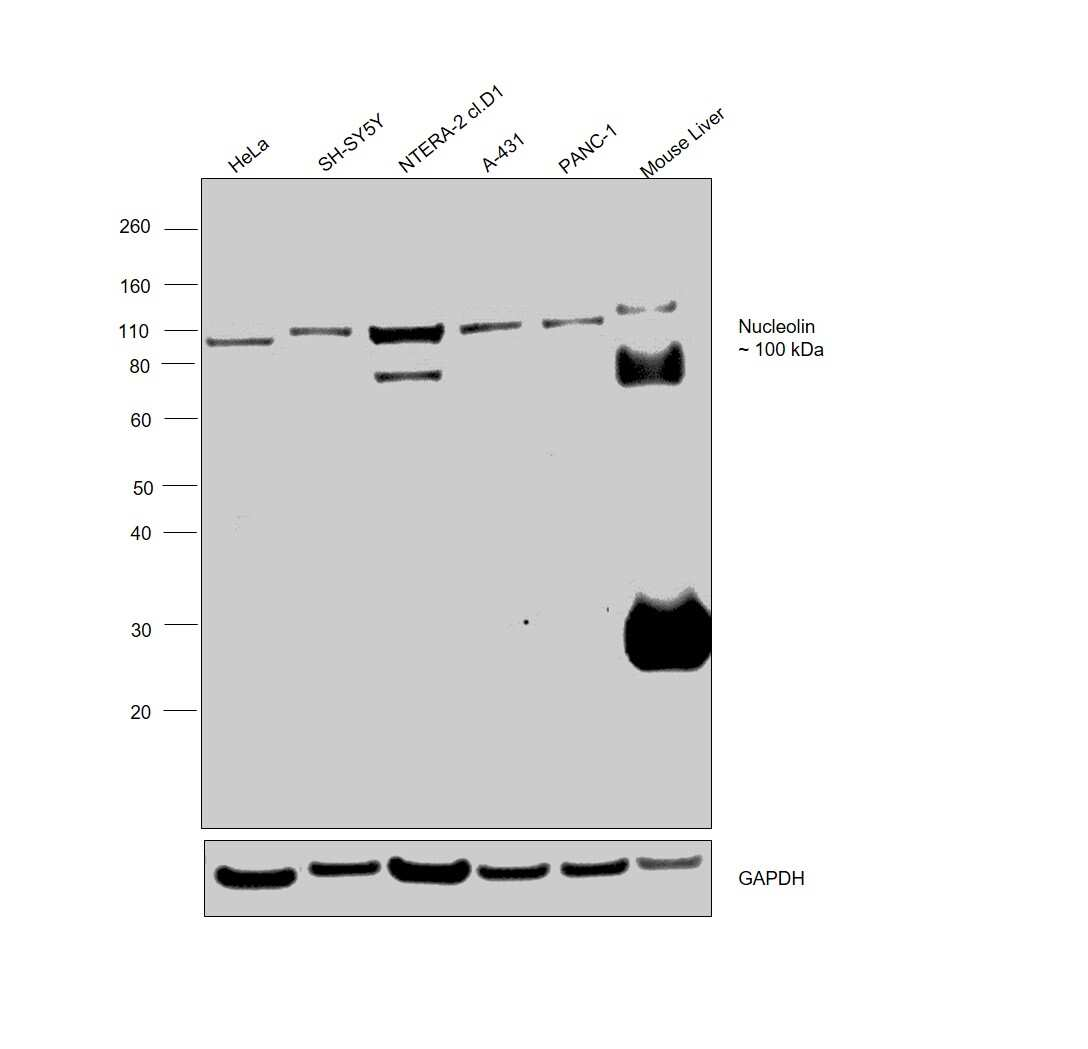 Nucleolin Antibody in Western Blot (WB)