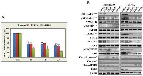 IGF1R beta Antibody