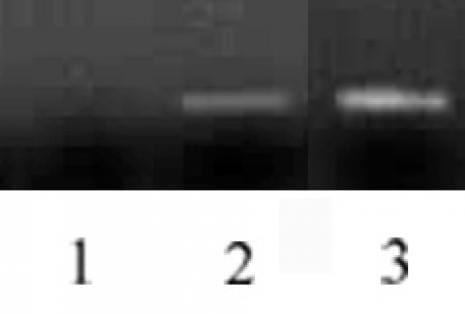 Histone H3 Antibody in Immunofluorescence (IF)
