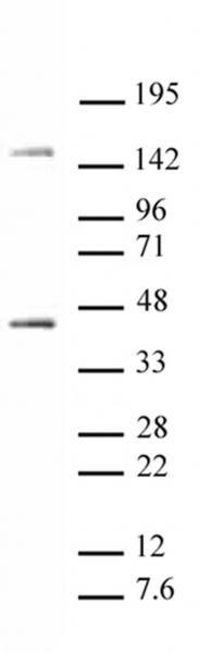 Oct-4 Antibody in Western Blot (WB)