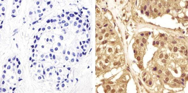GAPDH Antibody in Immunohistochemistry (Paraffin) (IHC (P))