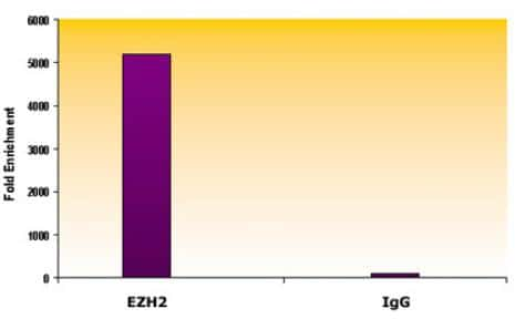 EZH2 Antibody in ChIP assay (ChIP)