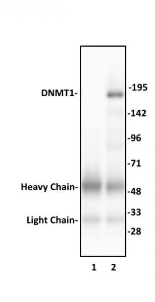 DNMT1 Antibody in Immunoprecipitation (IP)