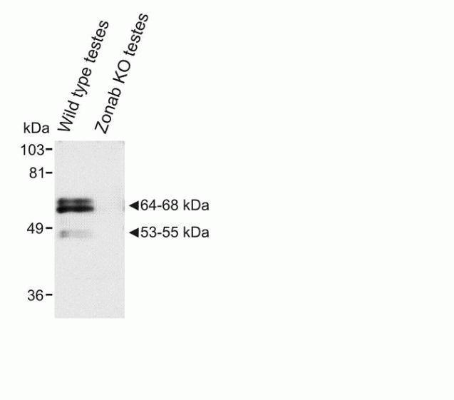ZONAB Antibody in Western Blot (WB)