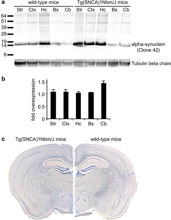 beta Tubulin Loading Control Antibody