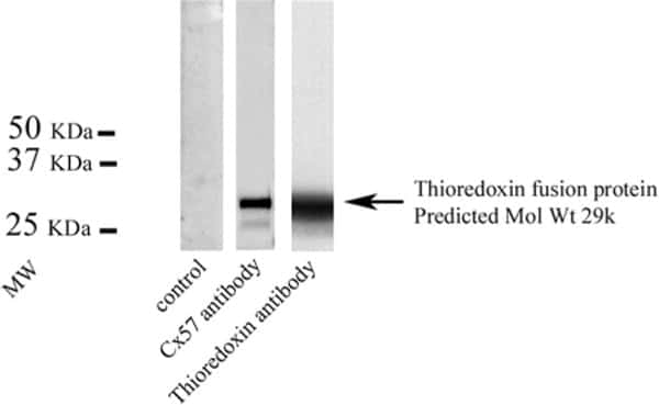 GJA10 Antibody