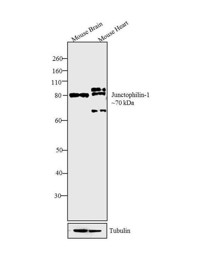 JPH2 Antibody in Western Blot (WB)