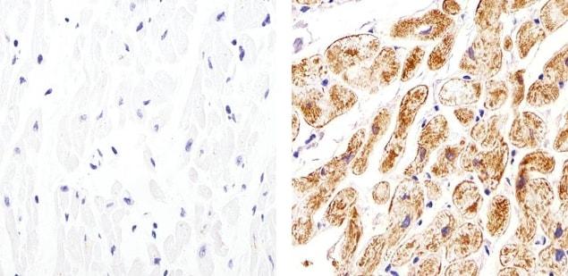 Connexin 30.2 Antibody in Immunohistochemistry (Paraffin) (IHC (P))