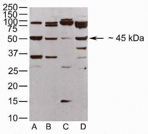 JAM3 Antibody in Western Blot (WB)