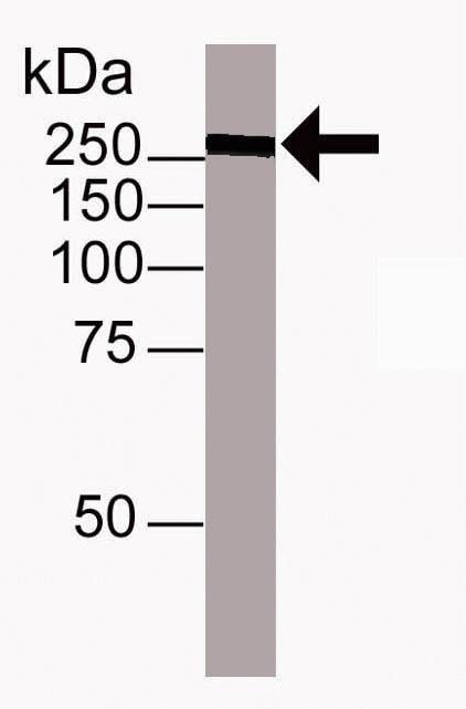 TRA-1-60 Antibody in Western Blot (WB)