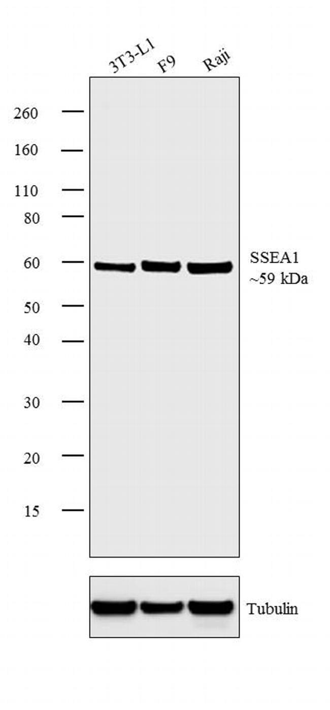 SSEA1 Antibody in Western Blot (WB)