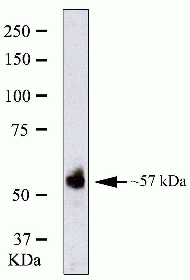 RUNX2 Antibody in Western Blot (WB)