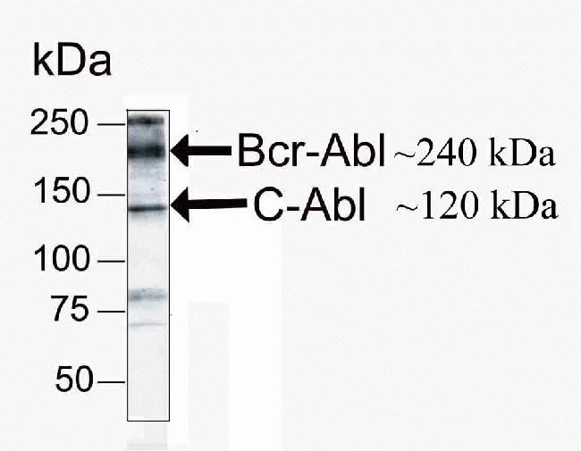 c-Abl Antibody in Western Blot (WB)