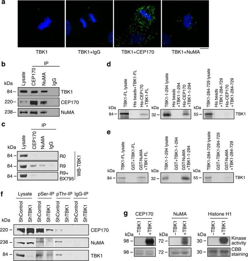 CEP170 Antibody