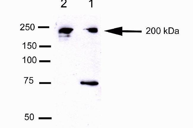 CEP170 Antibody in Western Blot (WB)