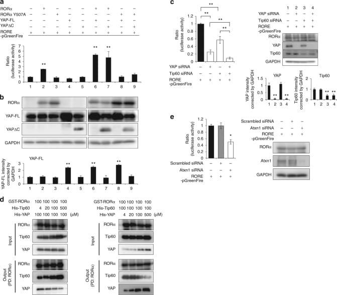 TIP60 Antibody
