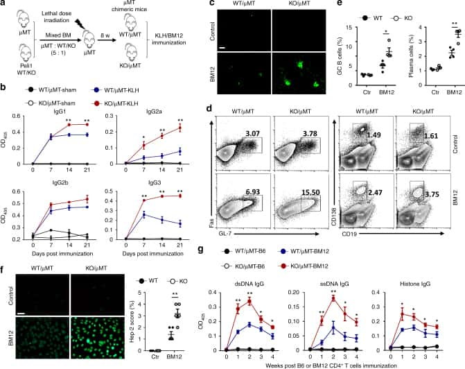 CD95 (APO-1/Fas) Antibody