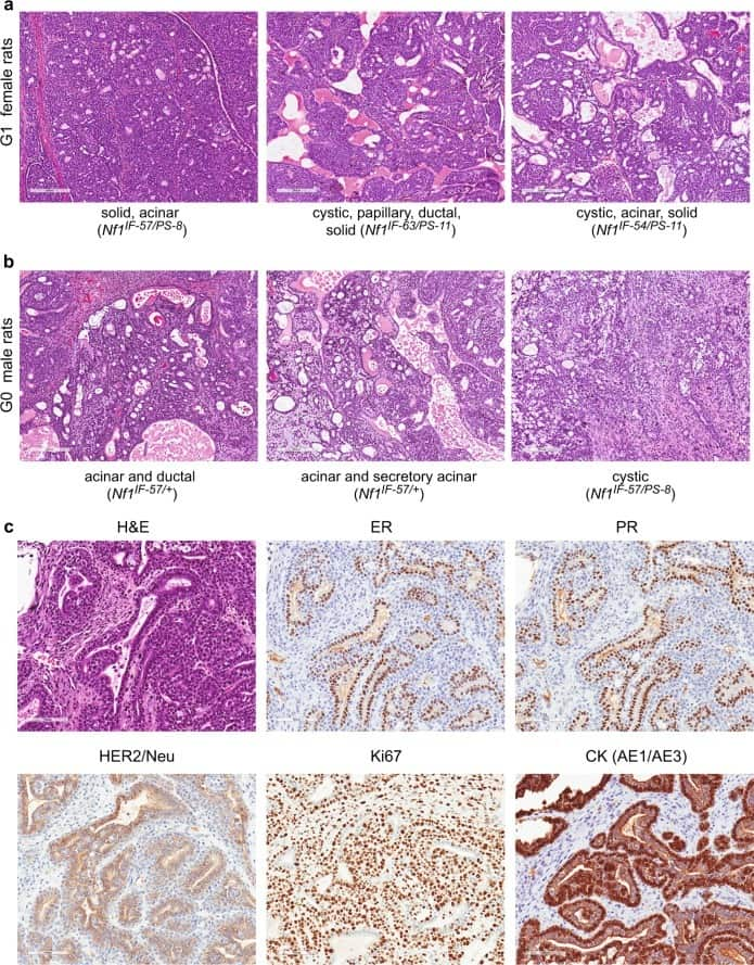 Estrogen Receptor alpha Antibody