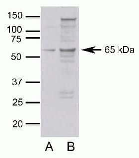 Occludin Antibody in Western Blot (WB)