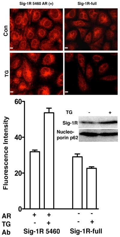 Sigma-1 Receptor Antibody
