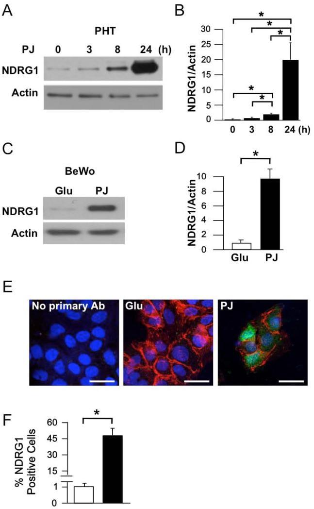 NDRG1 Antibody
