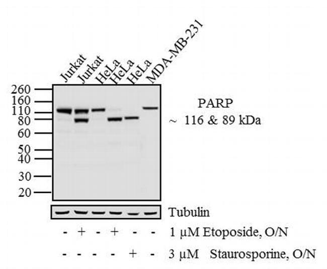 PARP Antibody in Western Blot (WB)