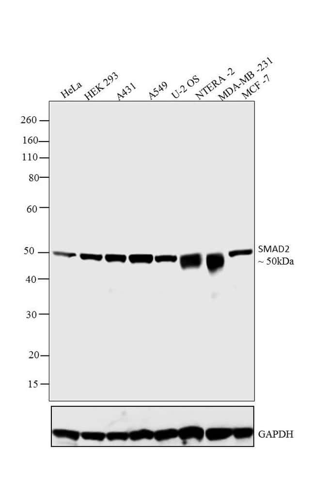 SMAD2 Antibody in Western Blot (WB)