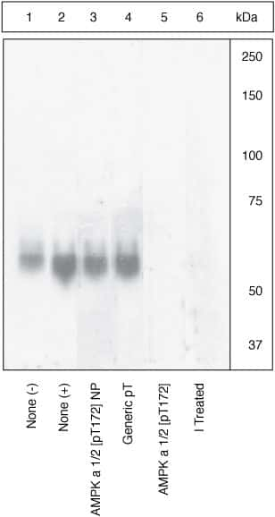 Phospho-AMPK alpha-1,2 (Thr183, Thr172) Antibody in Cell Treatment