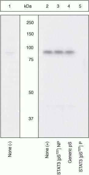 Phospho-STAT3 (Ser727) Antibody in Cell treatment