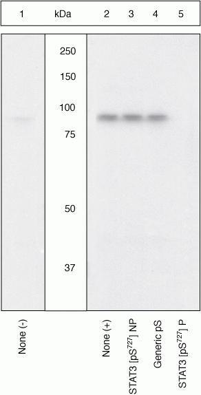 Phospho-STAT3 (Ser727) Antibody in Western Blot (WB)