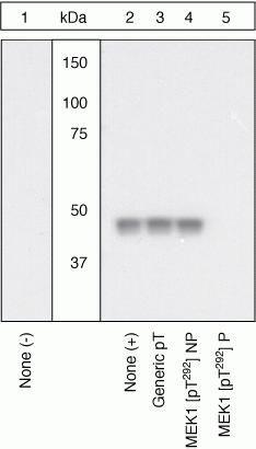 Phospho-MEK1 (Thr292) Antibody in Cell Treatment