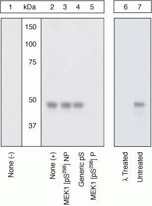 Phospho-MEK1 (Ser298) Antibody in Western Blot (WB)