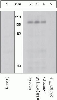 Phospho-c-Kit (Tyr721) Antibody in Western Blot (WB)