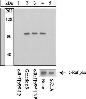 Phospho-c-Raf (Ser621) Antibody in Peptide array