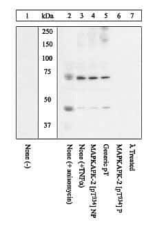 Phospho-MAPKAPK2 (Thr334) Antibody in Western Blot (WB)