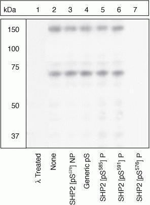 Phospho-SHP2 (Ser576) Antibody in Western Blot (WB)