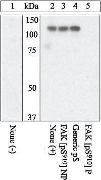 Phospho-FAK (Ser910) Antibody in Western Blot (WB)